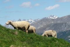Weißes Alpenschaf